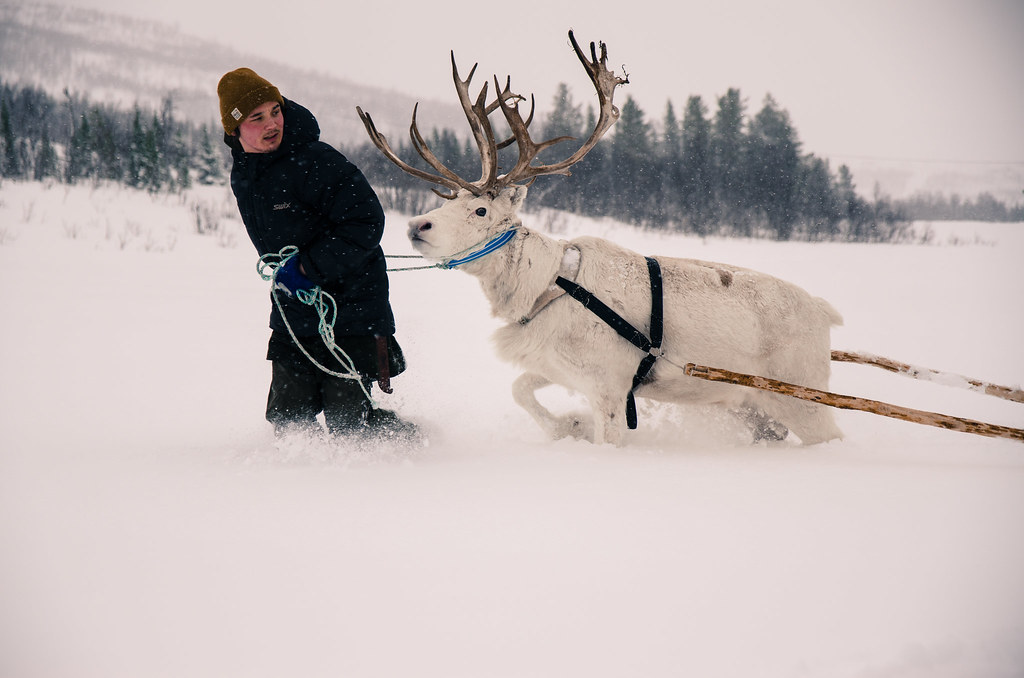 photo of Sami reindeer herder