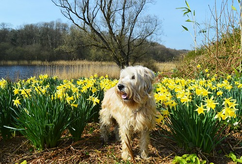 Doggy in the daffs.