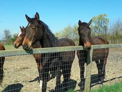 GOC Harrow Weald–Bushey 042: Horses