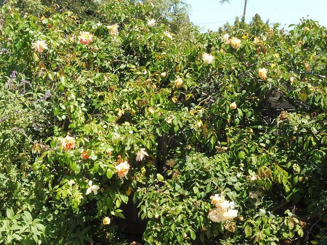 P1030484 lady hillingdon roses goleta