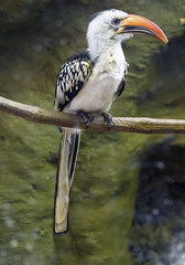 Memphis Zoo 08-31-2016 - Red-billed Hornbill 1