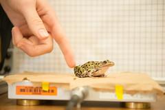 NSF awards $393,000 grant to OSU professor for study on frog evolution