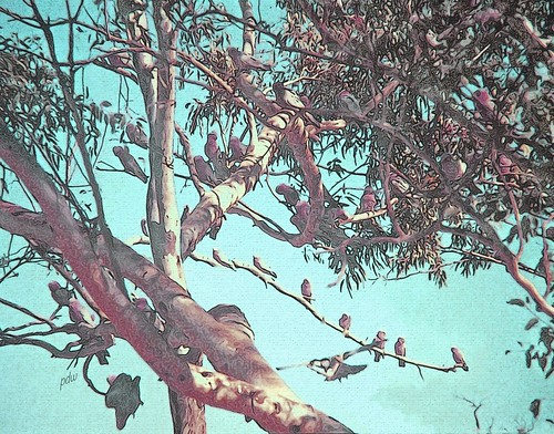 Tree Fulla Galahs