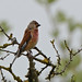 Just a minute - here's a linnet :)