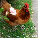 Hens of Berkeley: Eva