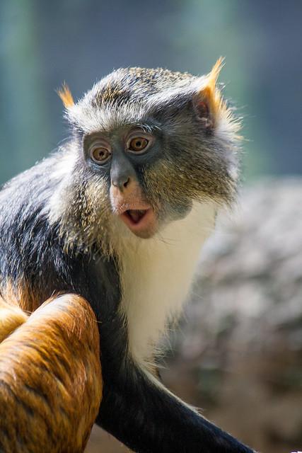 Wolf's monkey, Bronx Zoo