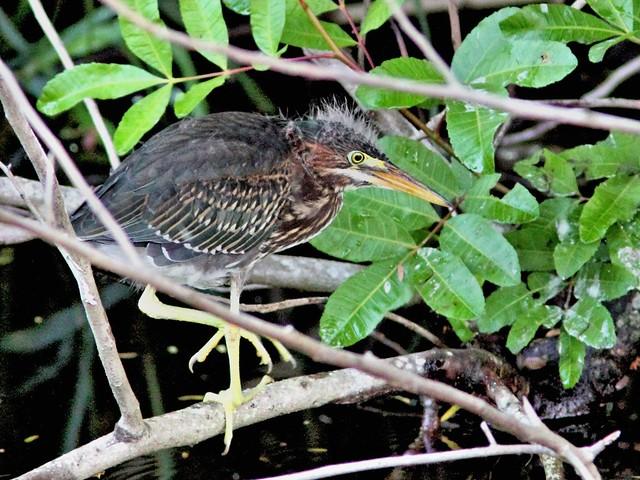 Green Heron juvenile 20130602