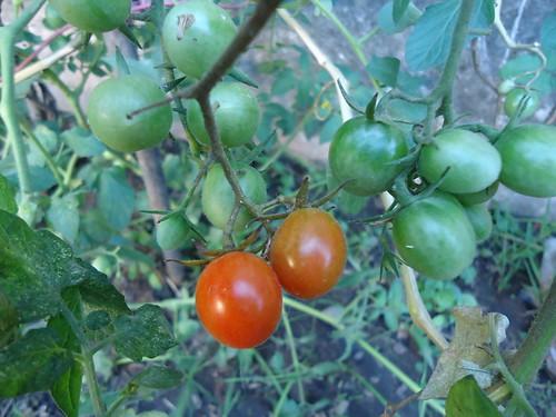 Tomate cherry.