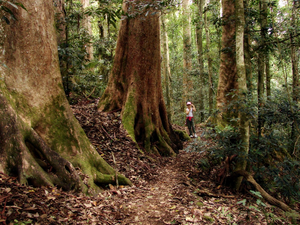 Walk In The Giant Trees Forest Brush Box Trees