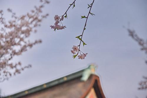 【写真】2013 桜 : 御香宮神社/2019-10-26/IMGP9742