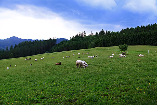 Sheep on a farm in Lower Austria.