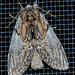Oval-based Prominent Moth - Photo (c) Aaron Carlson, some rights reserved (CC BY-SA)