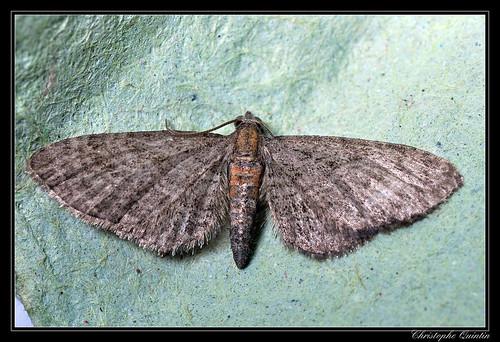 Eupithécie des clématites (Eupithecia haworthiata)