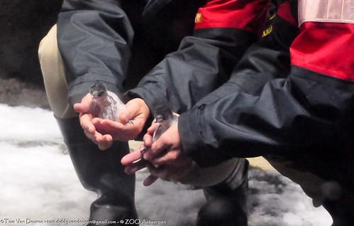 ezelspinguïn - Pygoscelis papua - Gentoo Penguin by MrTDiddy