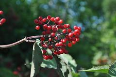 blossom(0.0), shrub(0.0), flower(0.0), plant(0.0), produce(0.0), food(0.0), evergreen(1.0), berry(1.0), branch(1.0), leaf(1.0), tree(1.0), red(1.0), nature(1.0), macro photography(1.0), flora(1.0), fruit(1.0), rowan(1.0),