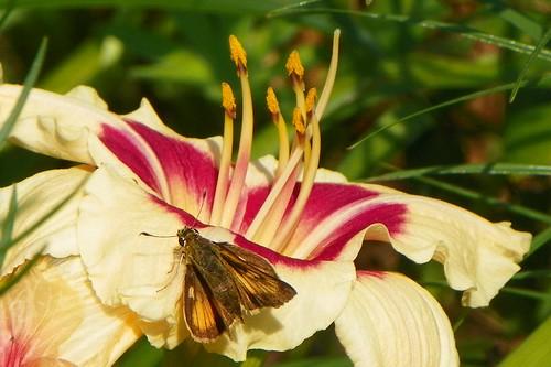 echinacea6