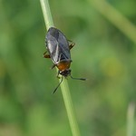 fekete mezeipoloska - Capsus ater