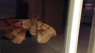 Giant moth