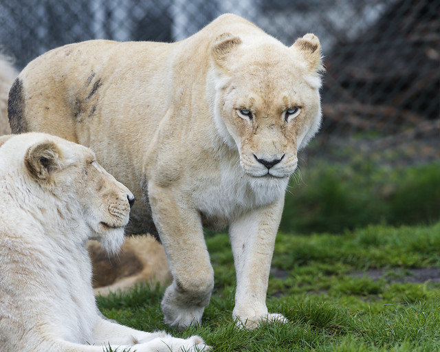 angry lioness - photo #13