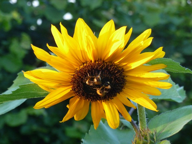 Sunflower and two sleepy bees in the evening sun.