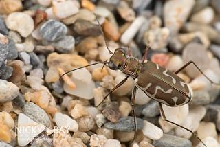 Beach Tiger Beetle (Cicindela sumatrensis) - DSC_3919
