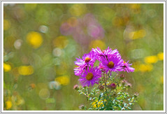 Asters bokeh. (Settembrini)