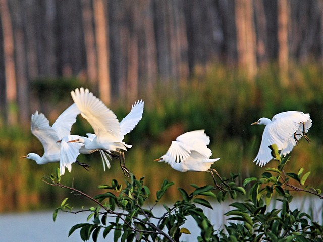 Cattle Egrets 20131009