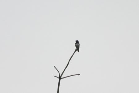 日本三鳴鳥のひとつだけあって,鳴き声が美しかったオオルリ.