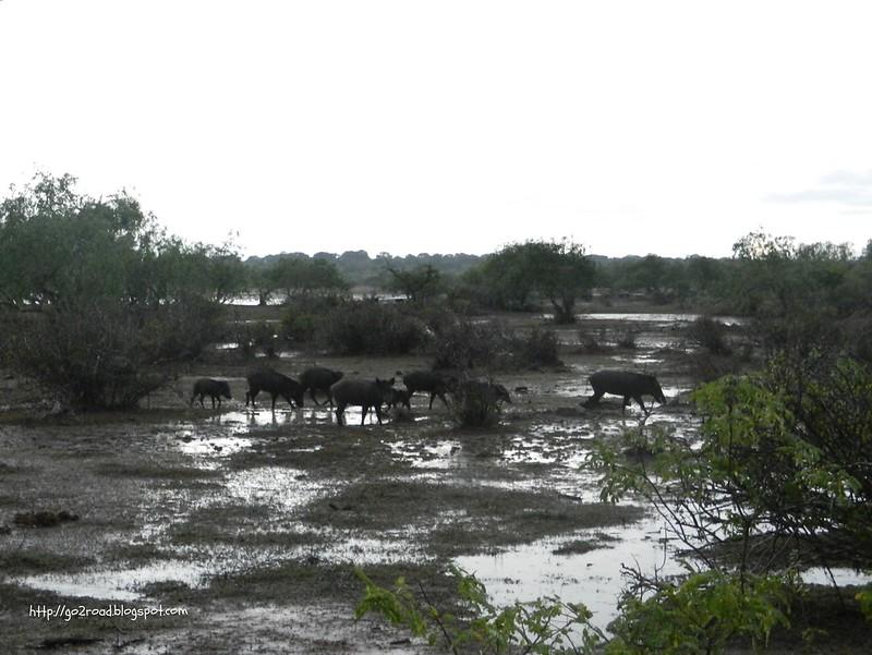 Шри Ланка Национальный парк Ялла