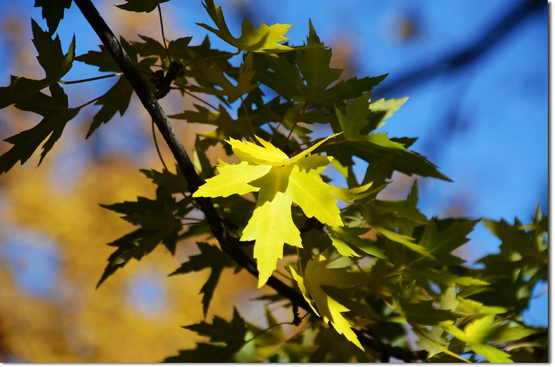 Silver maple in Fall, Chautauqua, Boulder 5