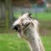 Emu by Tdawson010