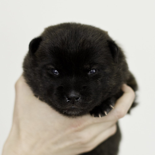 Nori-Litter1-Day15-Puppy1-Female-1