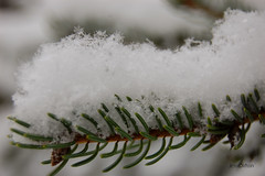 Evergreen Branch Under Snow