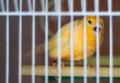 atlantic canary, animal, canary, yellow, pet, fauna, beak, bird,