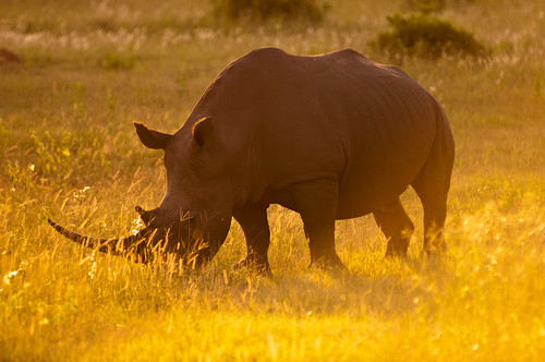 africa travel light sun game nature grass sunshine animal fauna landscape southafrica mammal nikon scenery dusk wildlife naturereserve rhino wilderness magichour naturepark limpopo gamepark gamedrive gamereserve wildlifepark gameviewing leshibawilderness