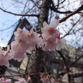 こんな日でも御池桜は元気。