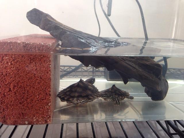 2014/1/4 ワモンチズガメ初期の飼育環境1