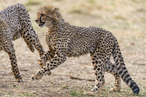 Running cheetah cubs by Tambako the Jaguar