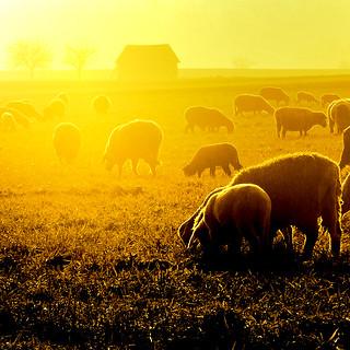 sheep in a golden light