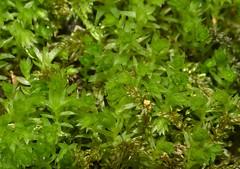 Horn Calcareous Moss (Mnium hornum)