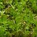 Horn Calcareous Moss (Mnium hornum) ©berniedup