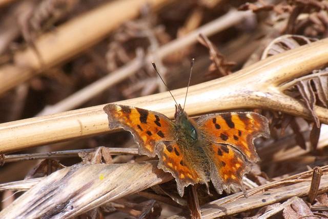 DSC_8216 Comma butterfly