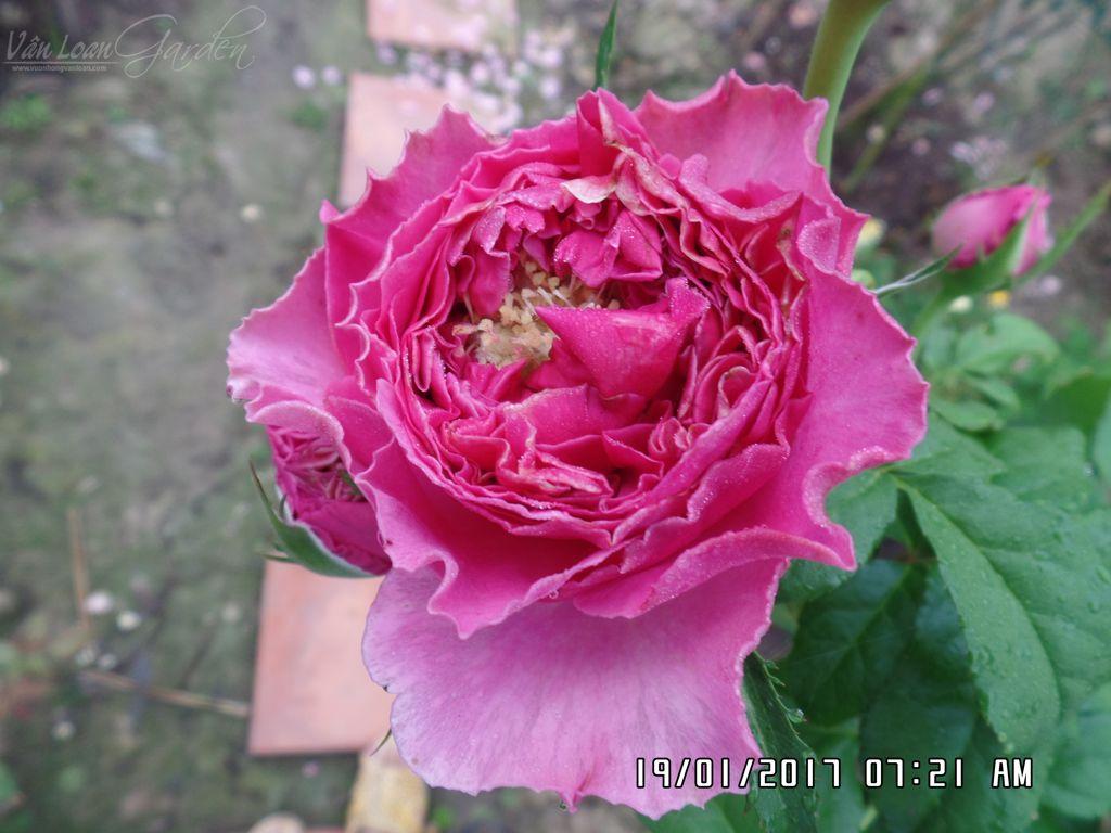 hoa hong cat canh kate rose (7)+vuonhongvanloan.com.JPG