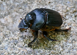 Image of Nursery. skukuza kruger grooveddungbeetle heteronitistridens dungbeetle taxonomy:binomial=heteronitistridens beetle