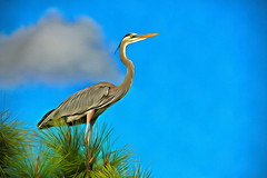 The Great Blue Heron of Florida