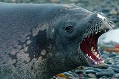 The crabeater seal's multi-lobe teeth need a clean DSC05182 King Haakon Bay, South Georgia