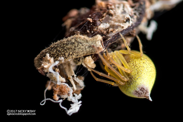 Comb-footed spider (Theridiidae) - ESC_0135