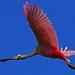 Roseate Spoonbill (Platalea ajaja) at Sitio de anidación Homochén (Nesting site Homochén) by Sisal, Yucatan, Mexico. by cbrozek21