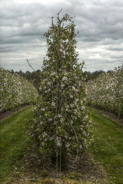 Bartestree - apple blossom, Panasonic DMC-TZ6