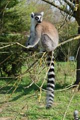 Lémurien sur l'arbre (Maki Catta)